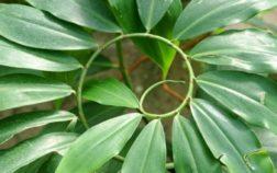 florespiral